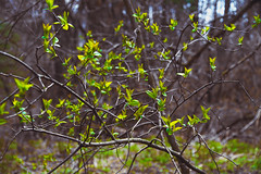 new leaves (Shandi-lee) Tags: trees brown ontario canada color colour green nature leaves yellow female forest canon eos grey spring interesting flickr photographer gray whitby twigs mossy springtime canon light 7d natural cox 1585mm shandilee shandilee