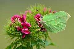 DSC_1814 (sylvette.T) Tags: flowers fleurs papillon 2014 gonepteryxrhamni nikond5100 objectif70200sigma