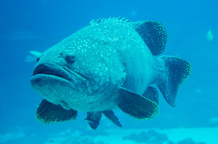giant grouper fish looking at diver (AgFineArtPhotography.com) Tags: ocean life park family blue atlanta red sea sky people orange white house fish eye nature water beautiful face animal coral kids fun gold aquarium big marine pretty underwater snorkel tank phone view bass background large australia scuba diving queensland tropical concept care fin reef sponge grouper groper epinephelus lanceolatus