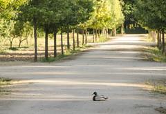 Pato pato pato pato... (Stroget) Tags: tree green nature duck nikon jardin pato aranjuez d5100