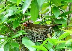 Northern Cardinal (alansurfin) Tags: bird nest cardinal