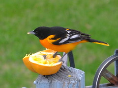 Baltimore Oriole (RonG58) Tags: pictures new trip travel winter light usa color bird nature birds fauna geotagged photography us photo flora day image photos live wildlife wayne birding maine picture images photograph digitalcamera migration tori exploration habitat photooftheday picoftheday baltimoreoriole oriole icterusgalbula waynemaine birdwalk loiseau fugifilm natureexploration elpájaro icteridblackbird dervogel rong58 finepixhs50exr