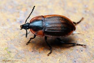 Black Snail Eating Beetle (Silpha atrata)