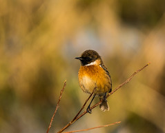 Stonechat (JamesO'Neill) Tags: