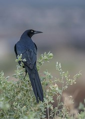 Bird Viewing Preserve_Henderson (JME_Photos) Tags: nature birds canon wildlife nevada grackle henderson 400mm