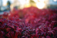 Red plant (haru__q) Tags: red plant ar sony konica a7  hexanon