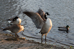 Blackheath geese (Spannarama) Tags: uk sunlight london water geese pond princeofwalespond blackheath goldenhour lowsun