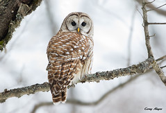 Barred owl (Corey Hayes) Tags: park winter wild ontario canada bird art nature colors birds animal clouds eyecontact wildlife ngc north birding h american bracebridge muskoka birdofprey 2015 northamericanbirds wildlifephotography avain coreyhayes 500f4is birdsofontario 7dmkii