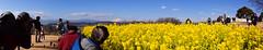 DSC_4374.jpg (d3_plus) Tags: street panorama flower nature japan trekking walking tokyo scenery fuji hiking fine sightseeing sunny daily bloom  fujisan    kanagawa     dailyphoto  mtfuji j4 thesedays  ninomiya rapeblossom           nikon1  adumayamapark 1nikkorvr10100mmf456 1 nikon1j4
