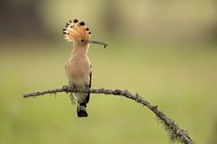 Hoopoe (Daniel Trim) Tags: bird birds animals photography spain european wildlife hoopoe hides calera upupa epops natiure