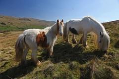 Wild Ponies (Kevin Hughes 348) Tags: wild horses nature hills ponies mammals mane yorkshiredales foal rugid equusferuscaballus