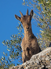 Cabra montes , Spanish ibex(  Capra pyrenaica ) (diegocon1964) Tags: spanishibex caprapyrenaica cabramontes