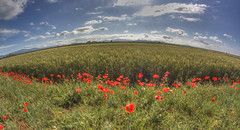 #150 (mariopolicorsi) Tags: italy primavera nature field clouds photoshop canon eos landscapes spring europa europe italia nuvole wheat may natura fisheye tuscany poppies toscana 8mm rosso grosseto hdr maggio papaveri grano maremma spighe photomatix samyang 450d simplysuperb hdrawards mariopolicorsi