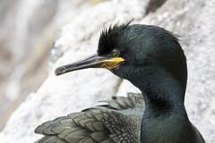 Shag (Paul..A) Tags: shag seabird