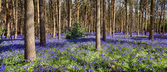 Austy Wood Panoramic 04 (Photograferry) Tags: flowers trees nature sunshine bluebells forest woodland spring colourful warwickshire
