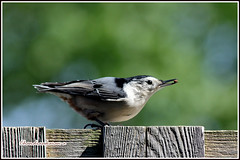 6164 - nuthatch (chandrasekaran a 34 lakhs views Thanks to all) Tags: birds boston nuthatch canon60d