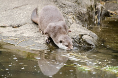 2016.03.23 - 1322.58 - NIKON D7000 - 97 (bigwhitehobbit) Tags: 2016 edinburghzoo family march otter