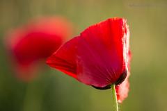 Papaveri 4 . Poppies 4 (antoninao) Tags: verde primavera canon orlando tramonto bokeh ngc fiori rosso abruzzo papaveri antonina campi spoltore 5dmarkiii