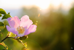 Rosa Canina (Luca Angelini) Tags: silhouette luca italia tramonto pietre valeria fiori sanpietro primopiano abruzzo coppia albe ruderi spiga albafucens