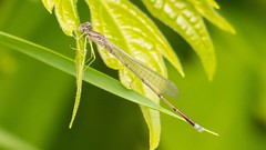 7K8A1632 (rpealit) Tags: mountain nature female scenery wildlife violet dancer management area sparta damselfly