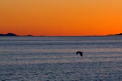 _MG_4530 (hasvewo) Tags: seagull midnightsun northnorway engenes