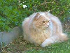Sitting on the Lawn (frankbehrens) Tags: cats tom cat chats chat gatos gato katze katzen kater