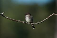 Bird on a Branch (martytdx) Tags: birds adult lifelist birding may nj phoebe barnegat easternphoebe oceancounty flycatcher bigday sayornisphoebe sayornis tyrannidae trophyshot tyrantflycatcher cloverdalefarms oceancountybigday