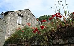 IMG_9154 (Anita VERNEAU) Tags: nature fleurs pierres coquelicots muret