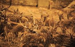 The Deer in the team... (mukesh.barnwal) Tags: deer camouflage herd
