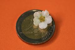 Smaller than a coin (Carahiah) Tags: flower macro fleur whiteflower coin euro tiny smaller pice petit fleurblanche 2euros macromondays smallerthanacoin