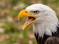 Scream (jwfoto1973) Tags: portrait bird animal germany deutschland zoo nikon eagle adler tierpark vogel falknerei seaeagle greifvogel anholterschweiz seeadler d7100 biotopwildpark johannesweyers