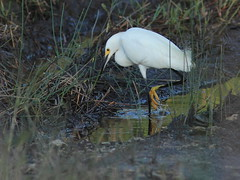 Snowy Egret 20160525 (Kenneth Cole Schneider) Tags: florida miramar westbrowardwca