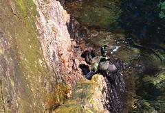 Shag (georgehart64) Tags: sea bird canon scotland is rocks aberdeenshire ii usm shag ef 100400mm seabird 70d f4556l billersofbuchan