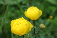 Trollblume (beudii) Tags: flowers flower nature spring natur wiese blumen blume frhling rhn trollblume
