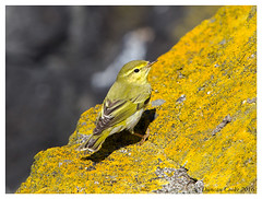 DS0D6062-Wood-Warbler,-phylloscopus-sibilatrix (duncancooke.happydayz) Tags: wood uk bird nature birds yellow native wildlife may british isle warbler warblers of distinguishedbirds birdperfect naturesgreenpeace