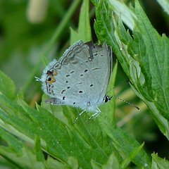 Eastern Tailed-blue (Dendroica cerulea) Tags: summer butterfly insect newjersey nj insects lepidoptera highlandpark arthropoda invertebrate cupido insecta lycaenidae easterntailedblue hexapoda papilionoidea middlesexcounty polyommatinae cupidocomyntas ayresbeach redsmarina