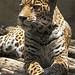 Akron Zoo 06-07-2012 - Jaguar 18
