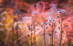 Bluebells (Dhina A) Tags: flowers bluebells prime mirror reflex md minolta bokeh sony f56 rf rokkor 250mm sonyalpha rokkorx minolta250mmf56 a7rii a7r2 ilce7rm2