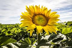 179#365 Il Primo (Fabio75Photo) Tags: sunset green nature yellow natura semi campo foglia sole gira petali pianta