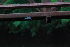 DSC_0076 (rlnv) Tags: bird animal newjersey flight princeton swallow barnswallow delawareandraritancanalstatepark 300mmf45ai nikond40x newjerseystateparks