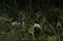 Ambush Complete (LegoLee) Tags: dead soldier war lego military helmet vietnam jungle bradbury laos ambush sog