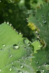 Frauenmantel  - Spielerei mit Tropfen (mama knipst!) Tags: leaf waterdrop natur blatt wassertropfen