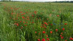 Wien Vienna Wiese Meadow (Alexander Pangl) Tags: vienna wien lumix meadow wiese panasonic cornflowers redpoppy kornblumen rotermohn viveza2 nikcollection dmclx100