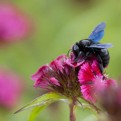Objectif atteint (Titole) Tags: pink squareformat abeillecharpentire oeilletdupote titole nicolefaton