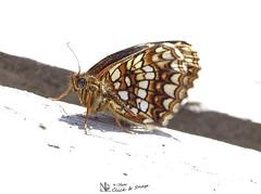 kleiner Falter #Streifen (nicoheinrich86) Tags: light eye rayas nature closeup butterfly insect licht wings klein pattern dof pov sony natur pointofview tiny nah augen falter muster insekten schmetterling streifen listras nahdran flügel rayures tiefenschärfe flickrfriday fühler