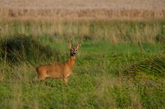 Rehbock (Der Gnurz) Tags: animal wildlife deer roedeer reh tier roebuck capreoluscapreolus rehbock nikond5100