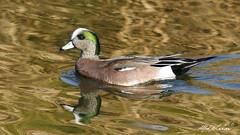 American Wigeon (Alfred J. Lockwood Photography) Tags: morning winter reflection bird nature water creek keller duck texas wildlife drake americanwigeon wigeon bearcreekpark alfredjlockwood