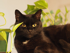 Koty Felix & Kocio (arjuna_zbycho) Tags: pet cats pets cute animal animals cat blackcat kitten feline chat felix kitty kittens tuxedo gato tuxedocat gatto katzen haustier kater tier gattini hauskatze kocio