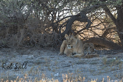 Pride of Lions near Okandeka Waterhole (robsall) Tags: africa vacation cat canon mammal big feline lion bigcat lions endangered predator 500mm namibia canoneos lioness bigcats carnivore vulnerable 2015 pantheraleo oshana canon500mmf4 largefelines 7dmarkii canon7d2 canon7dmarkii canon7dmark2 robsallphotography 7dm2 7dmark2 7dmii canoneos7dmark2 canon7dm2 canoneos7dm2 canon500mmf4lii canon500mmf4lisiiusm canon500mmf4ii