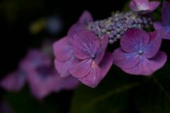 -56 (Mio:D) Tags: flower hydrangea  ise